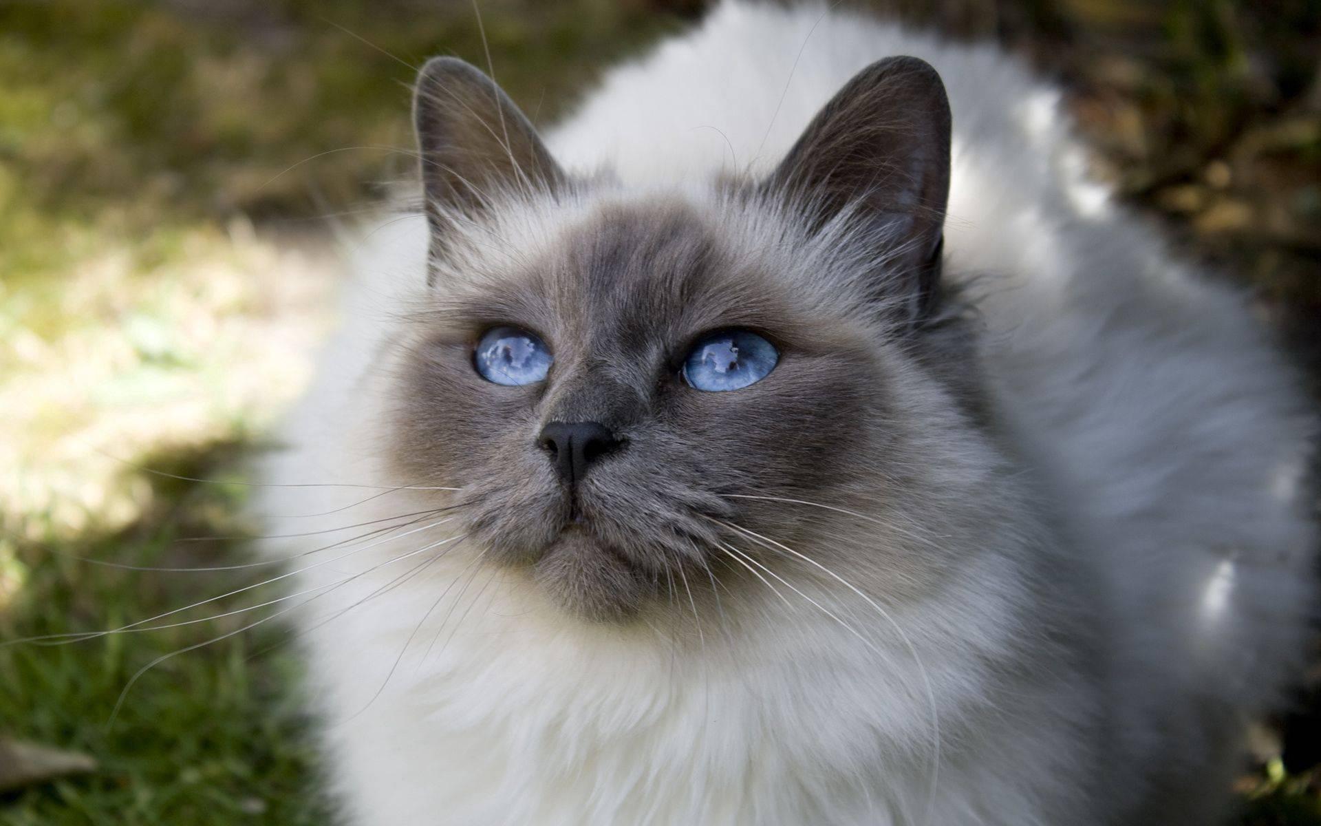 Белая кошка с голубыми глазами – что это за порода, бывают ли голубоглазыми черные или рыжие коты?