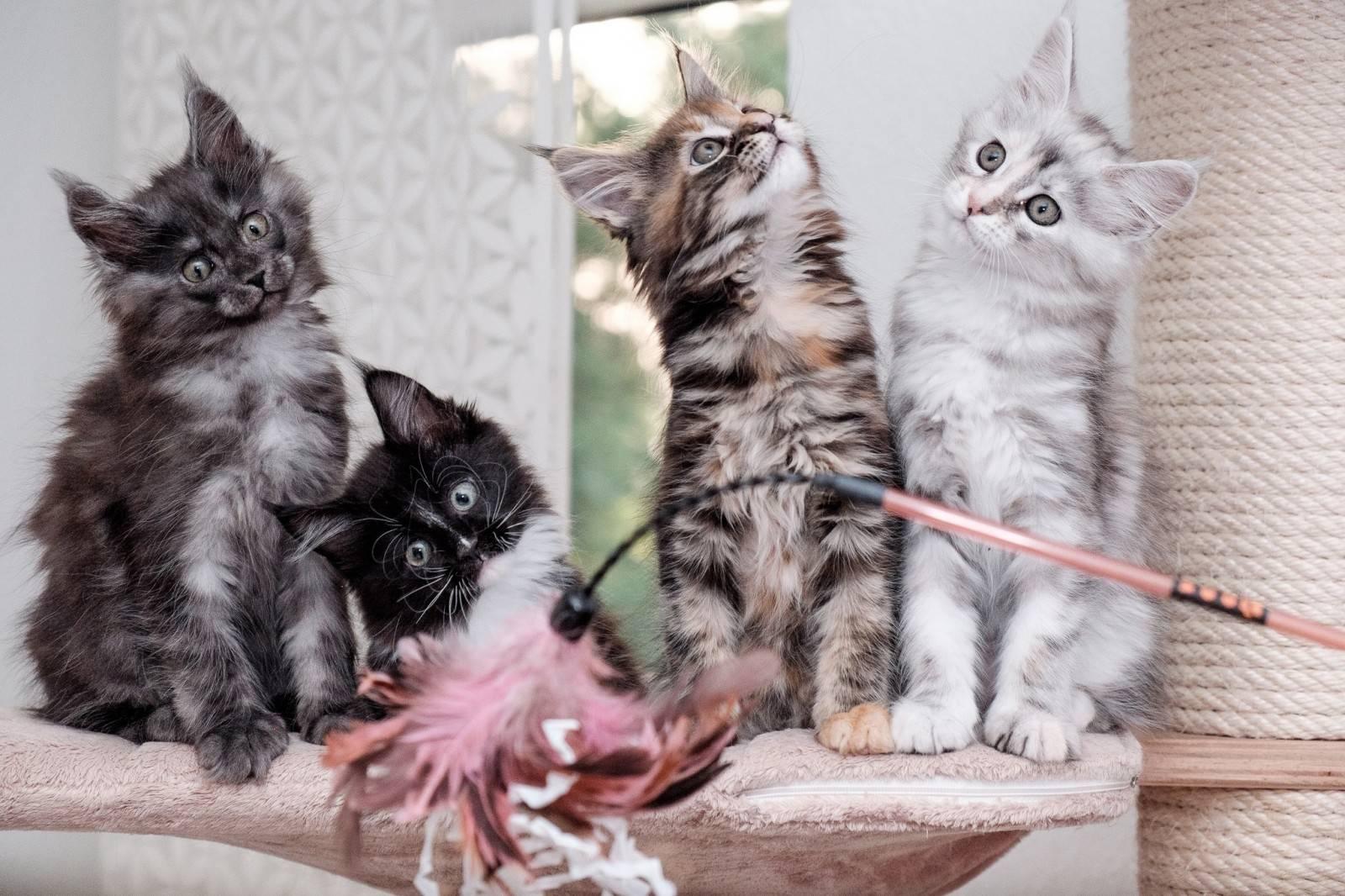 Когда нужно делать прививку котенку мейн куну | my darling cats