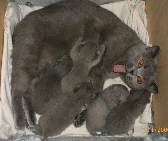 Сколько длится беременность у кошек в зависимости от породы