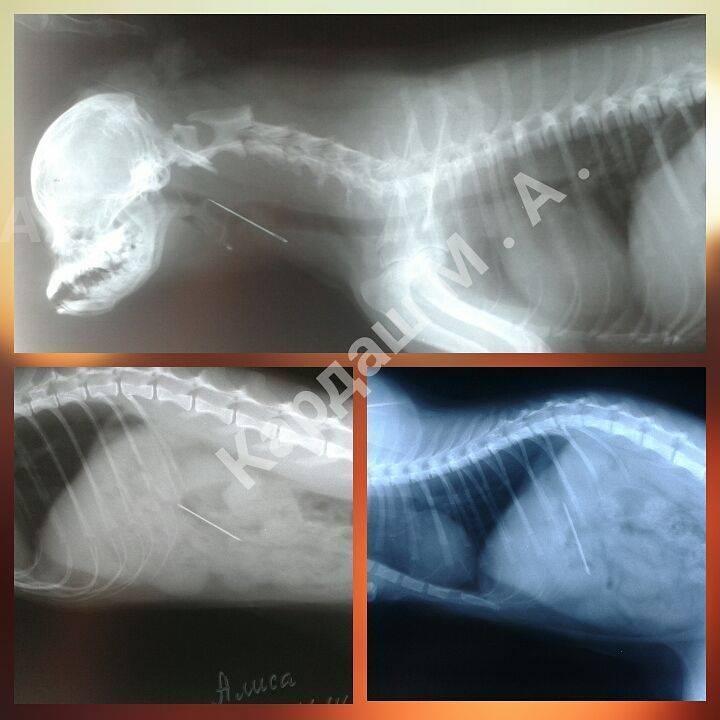 Собака проглотила иголку: признаки проглатывания инородного предмета, первая помощь, как извлечь иглу