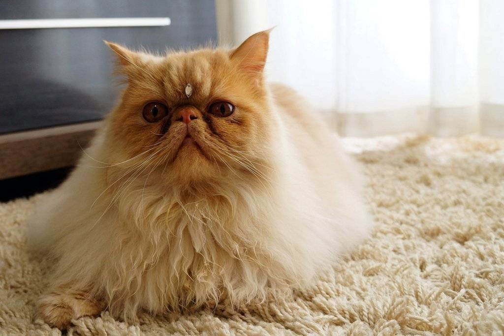 Особенности содержания пушистых котов: как ухаживать за шубкой, чтобы она вызывала восхищение и зависть