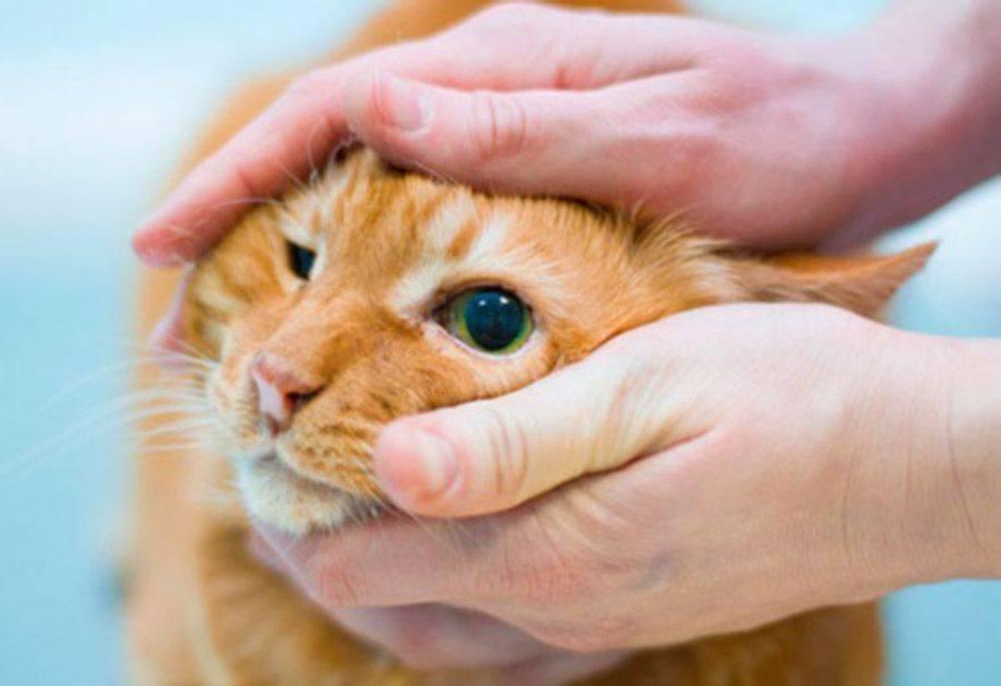 У кошки третье веко: причины, лечение, фото, что делать, если глаза наполовину закрыты плёнкой