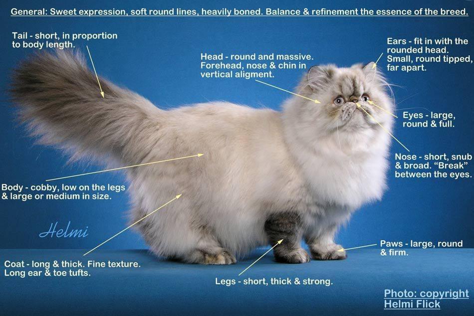 Особенности характера персидской кошки