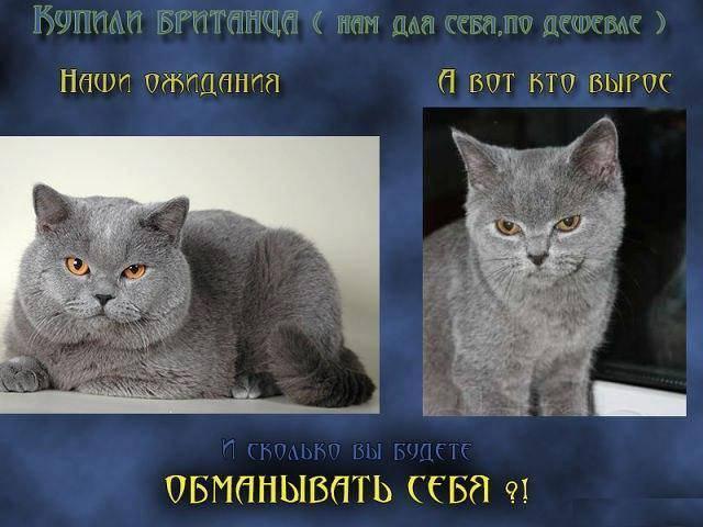 Отличия британских кошек и котят от шотландских: внешность, характер и другое | сайт о домашних животных