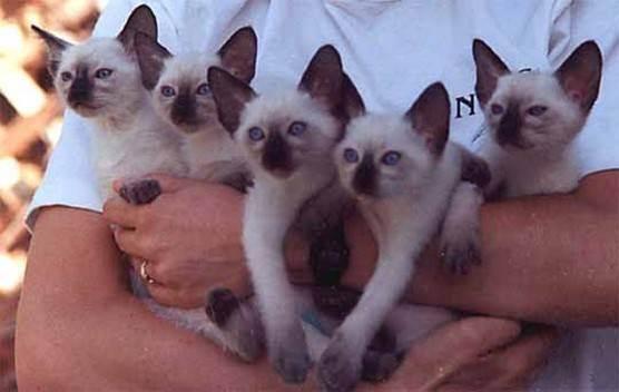 Как назвать сиамскую кошку девочку: популярные вопросы про беременность и ответы на них