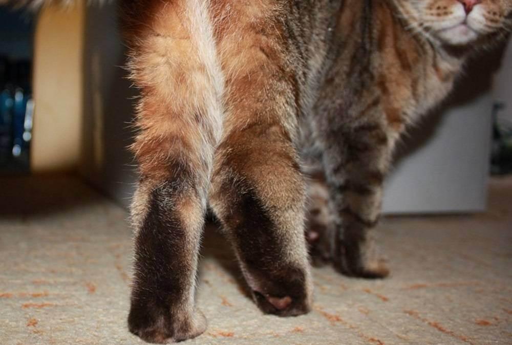 Ушиб лапы кота симптомы