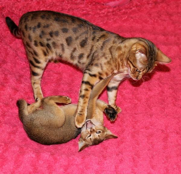 Какие кошки не часто линяют?