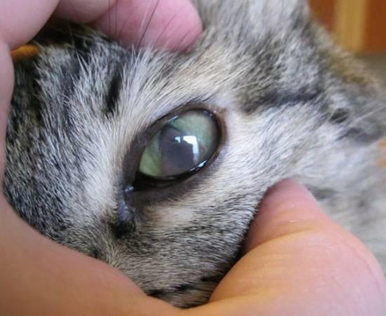 Гной в глазу у кота чем лечить - муркин дом