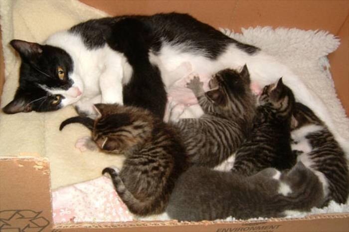 Серая кошка с котятами