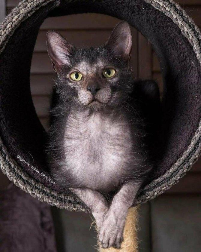 Ликои (кошка-оборотень): фото, характер, особенности, здоровье, уход