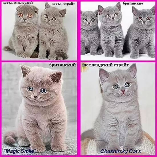 Отличие британских кошек от шотландских: фото с пояснениями