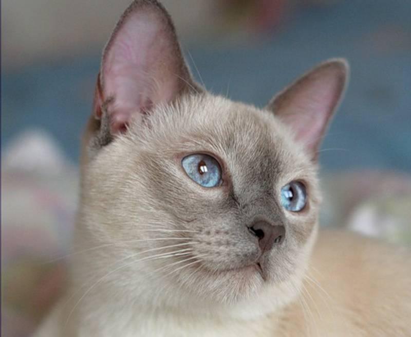 Сколько стоит тайский котенок?