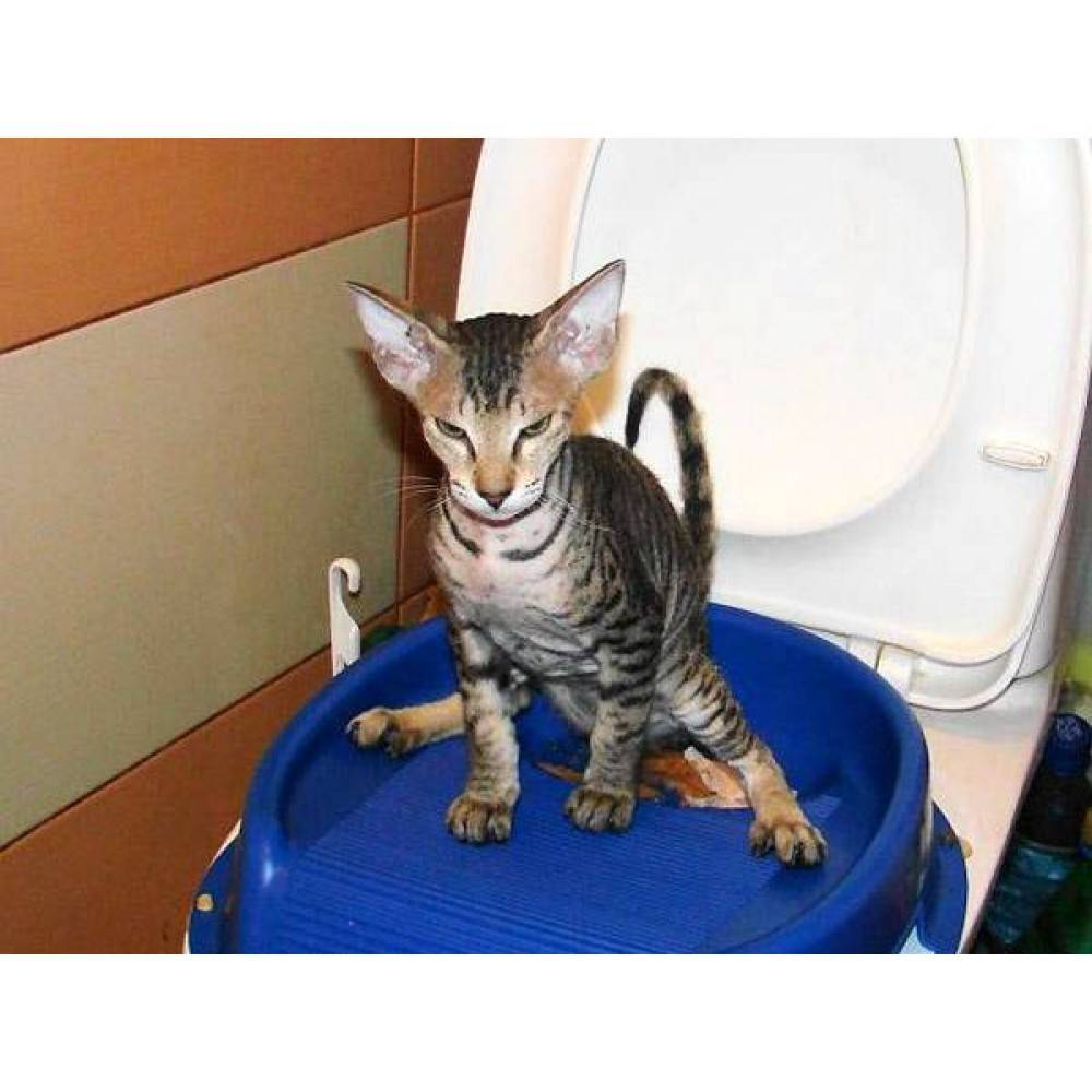Кот (кошка) мяукает в туалете