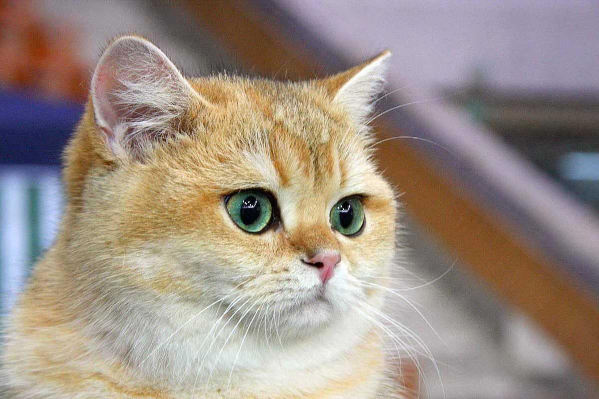 Когда у британских котят меняется цвет глаз. цвет глаз у британских котят
