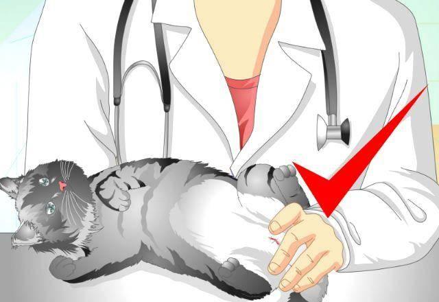 Что нужно сделать перед стерилизацией кошки, чтобы все прошло хорошо