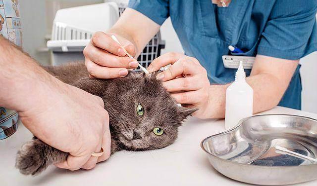 Как чистить уши кошке в домашних условиях: рекомендации специалистов