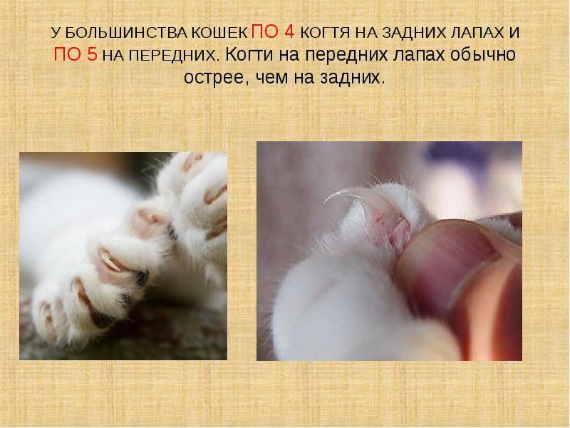 Сколько пальчиков у кошки и что такое полидактилия