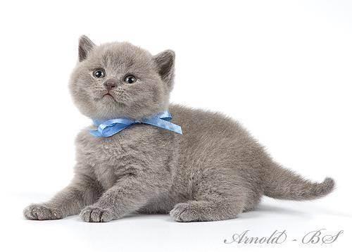 Как выбрать котенка русской голубой – советы и рекомендации