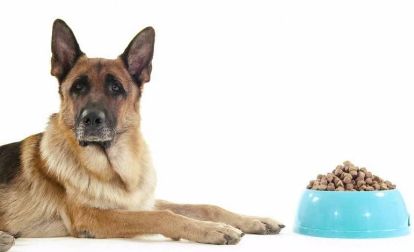 Как кормить немецкую овчарку, что едят, какие продукты давать, рацион питания щенка и взрослой собаки