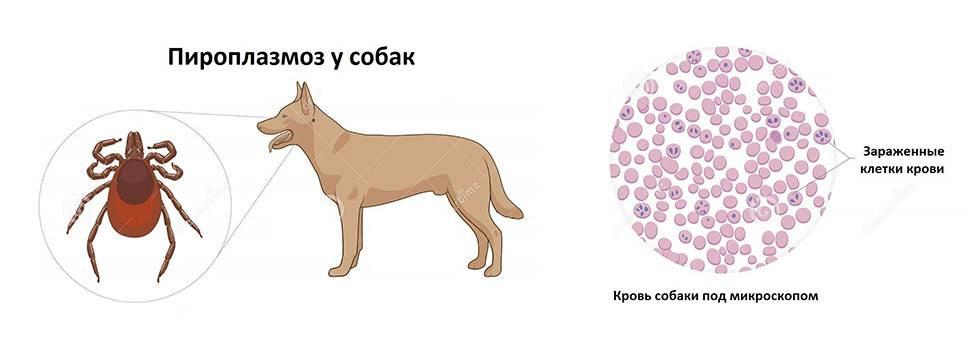 Что такое дирофиляриоз у собак — расписываем все нюансы