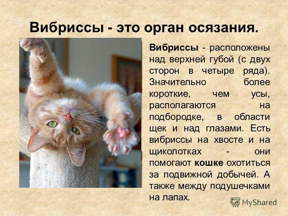 Почему у кошки выпадают усы: причины такого явления и чем это опасно
