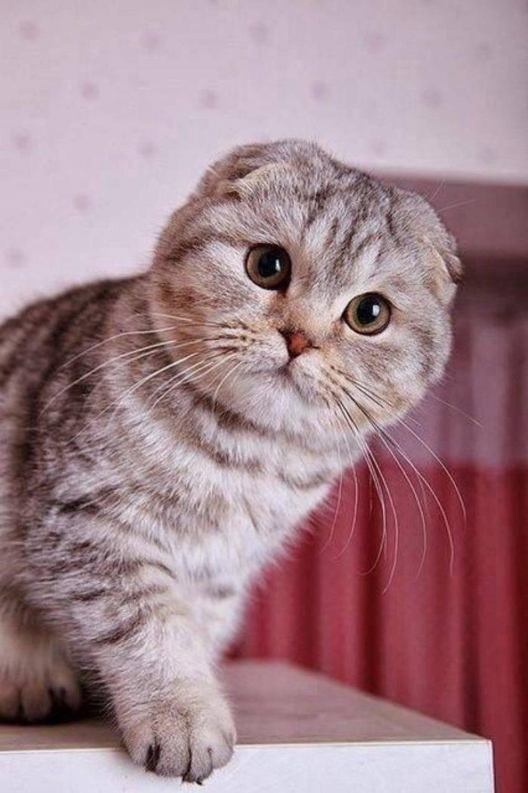 Особенности лиловых шотландских вислоухих кошек