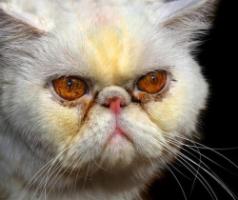 Почему у котенка слезятся глаза и как помочь животному в домашних условиях