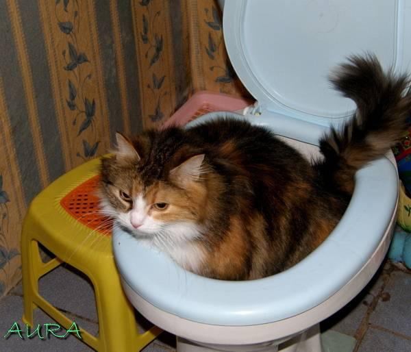 Кот не ходит в туалет: когда начинать волноваться