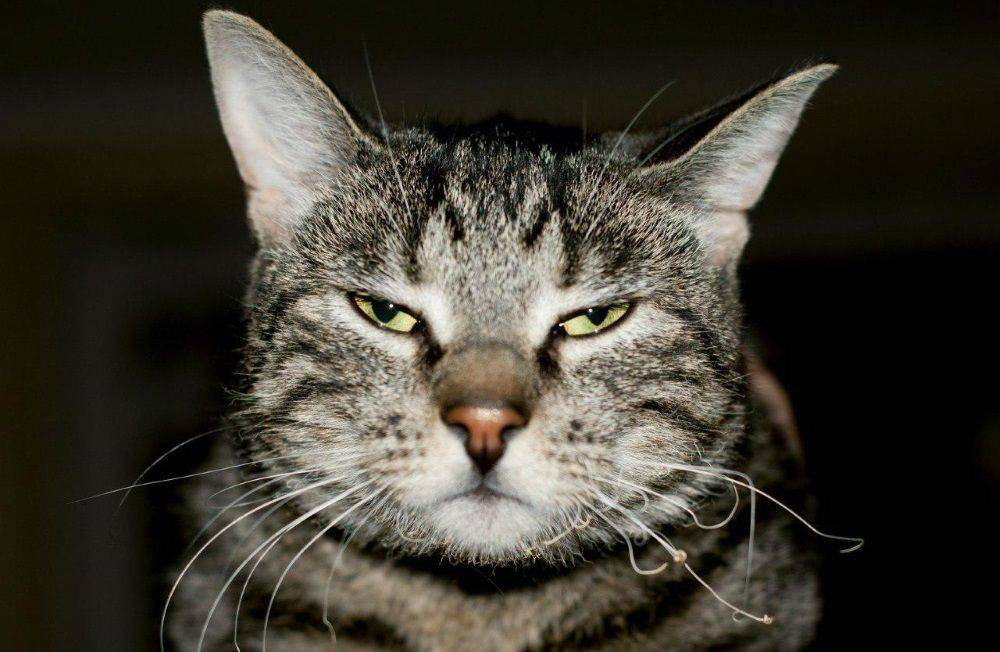Зачем коту усы - то делать, если усы у кота выпадают или ломаются | caticat.ru