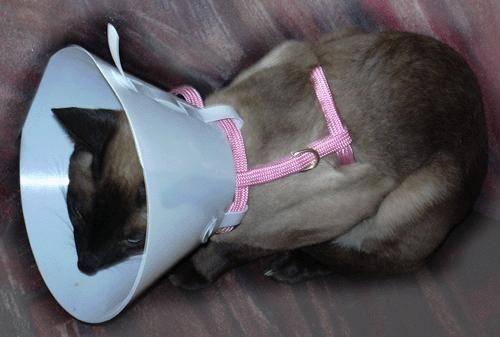Пошаговая инструкция по изготовлению воротников для кошек собственноручно