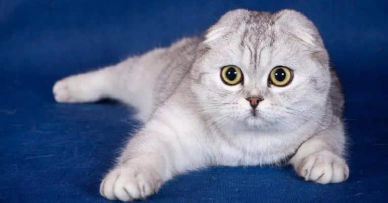 Характер шотландского вислоухого кота