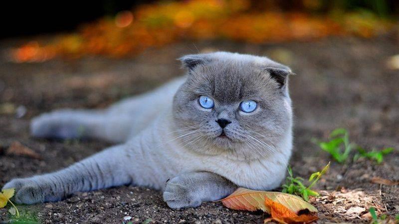 Шотландские вислоухие котята: описание породы, фото