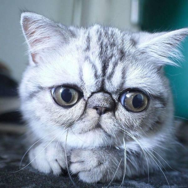 Кошка с желтыми глазами: названия пород с описанием