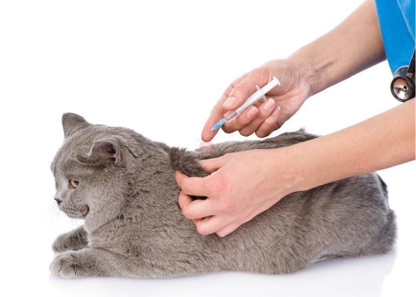 Как сделать подкожный укол кошке: подробная инструкция для владельцев