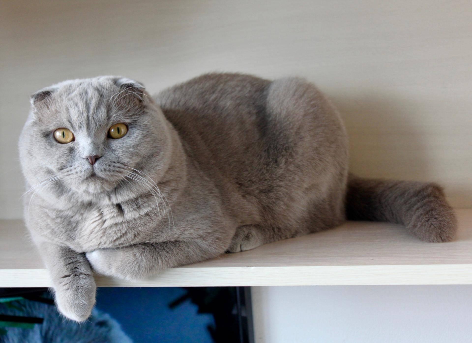 Кот британский вислоухий: фото, питание и уход за британцем котенком