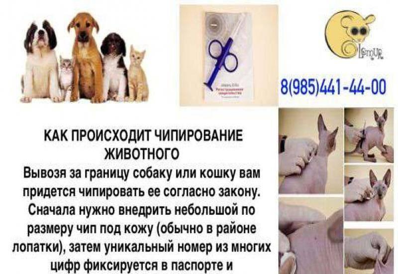 Чипирование кошек: что это дает, возраст для чипирования, особенности процедуры, противопоказания, базы данных чипированных животных