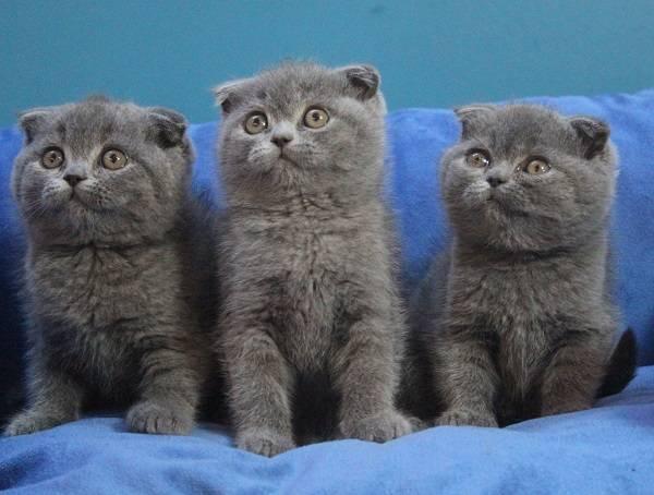 Шотландская вислоухая кошка – уход и кормление в домашних условиях