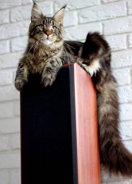 С чего начать бизнес по разведению породистых кошек, как разводить котят?