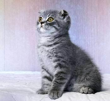 Какие бывают окрасы шотландских вислоухих кошек