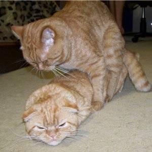 Как кошка ведет себя после вязки, почему она продолжает просить кота и орать: особенности поведения животного