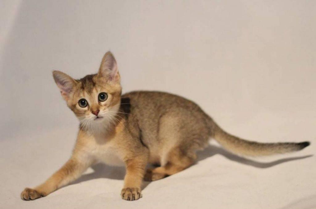 Порода кошек чаузи: описание породы, особенности и характер, цена, содержание и уход, фото