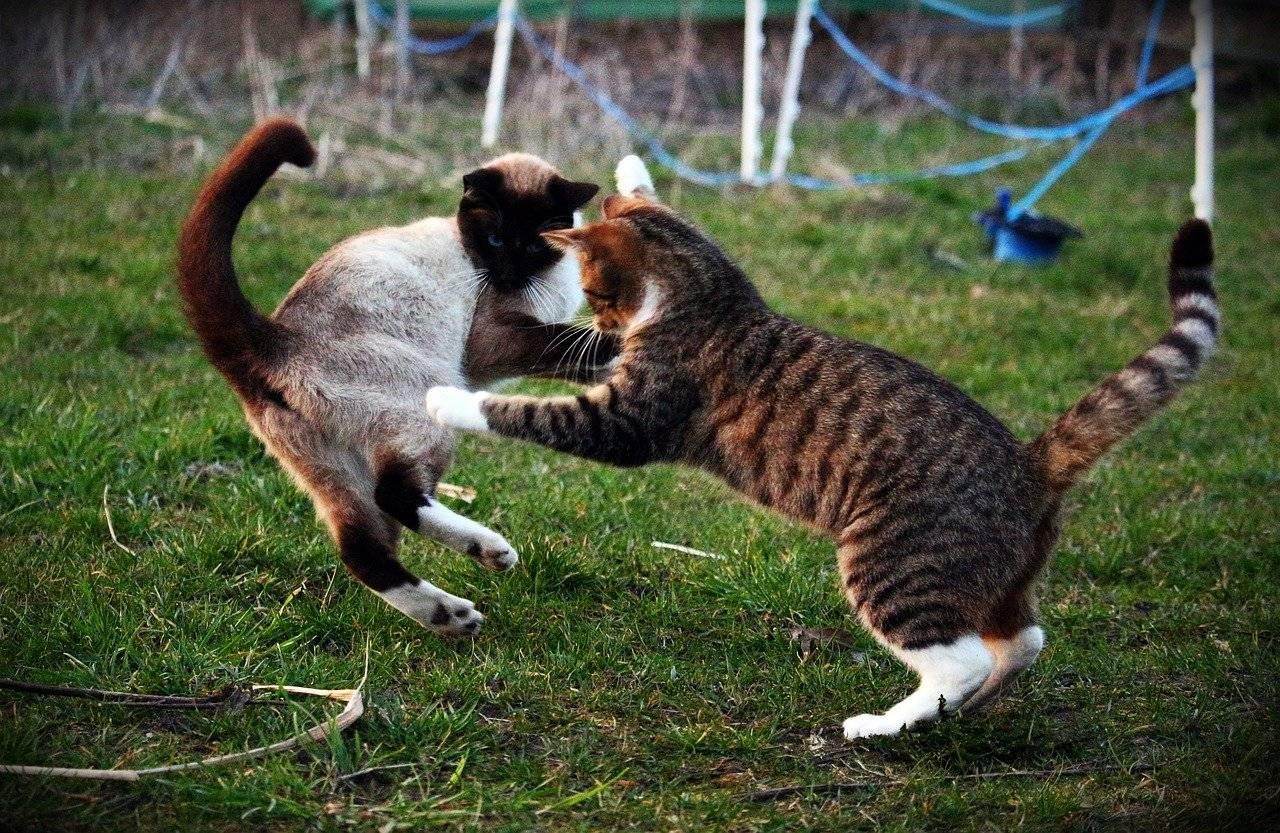 Коты дерутся и орут – что делать, как подружить кошек между собой в квартире?