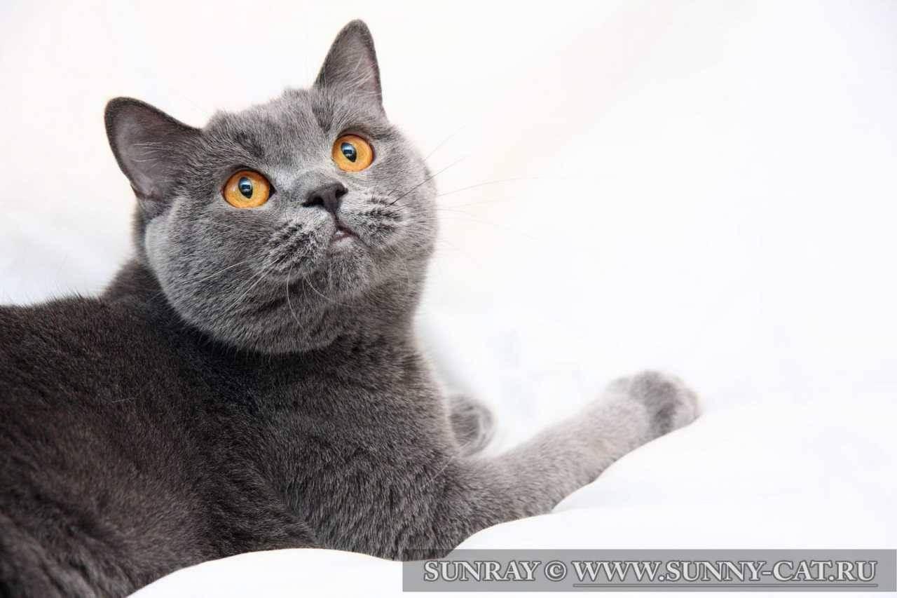 Линяют ли британцы. почему британская кошка сильно линяет