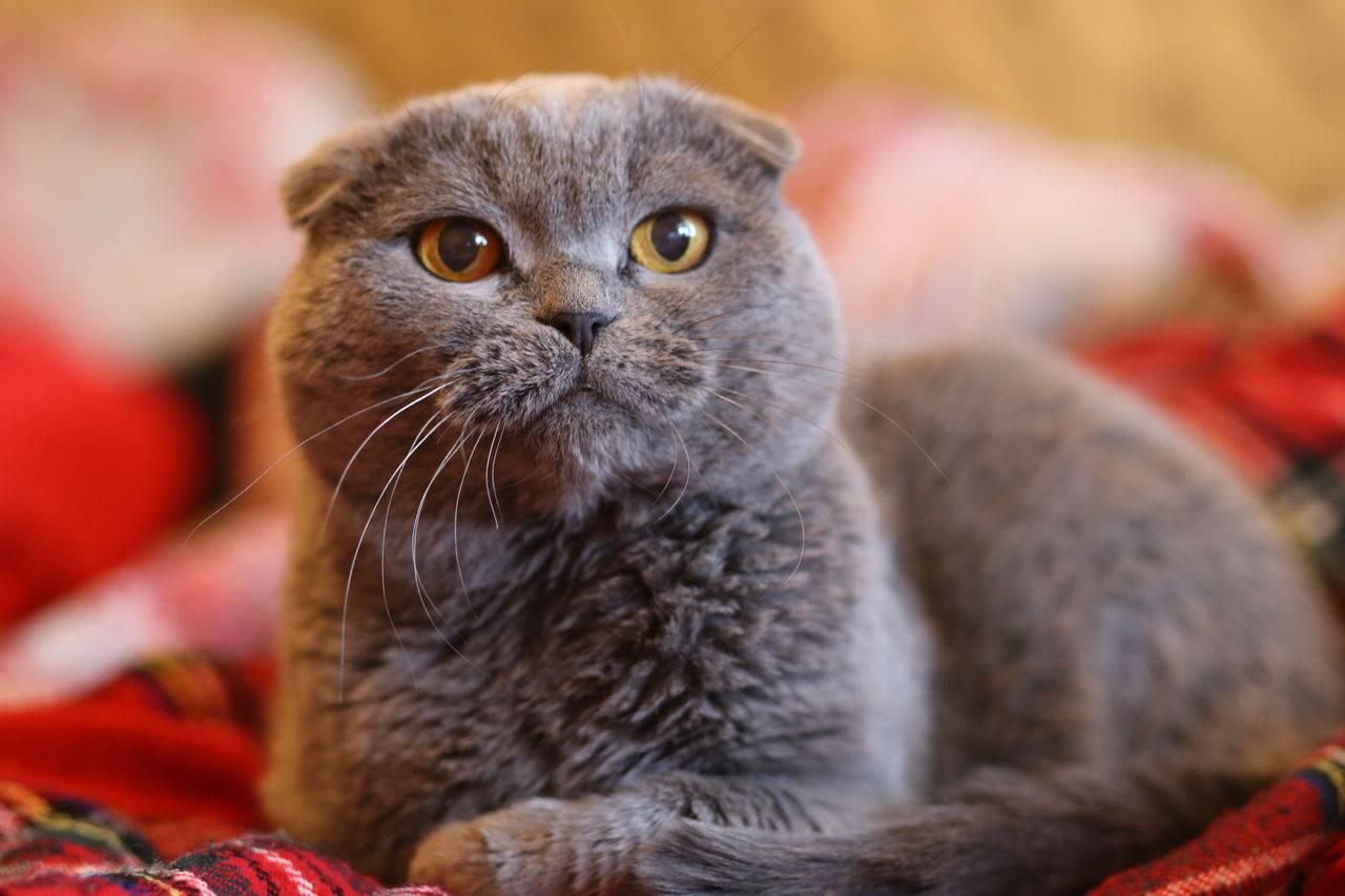Характер британской кошки: холодный аристократ или плюшевый друг? | рутвет - найдёт ответ!