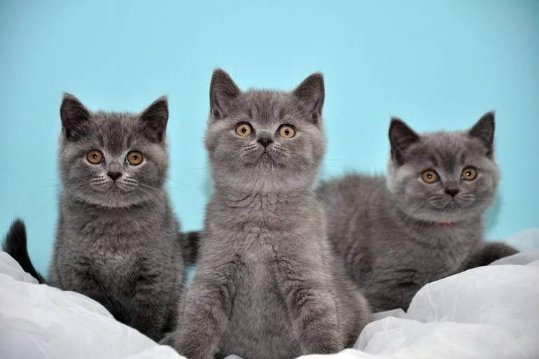 Чем кормить и как правильно ухаживать за британскими кошками?