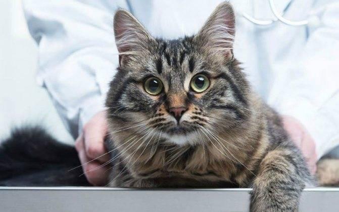 Симптомы и лечение гемобартонеллеза у кошек и собак
