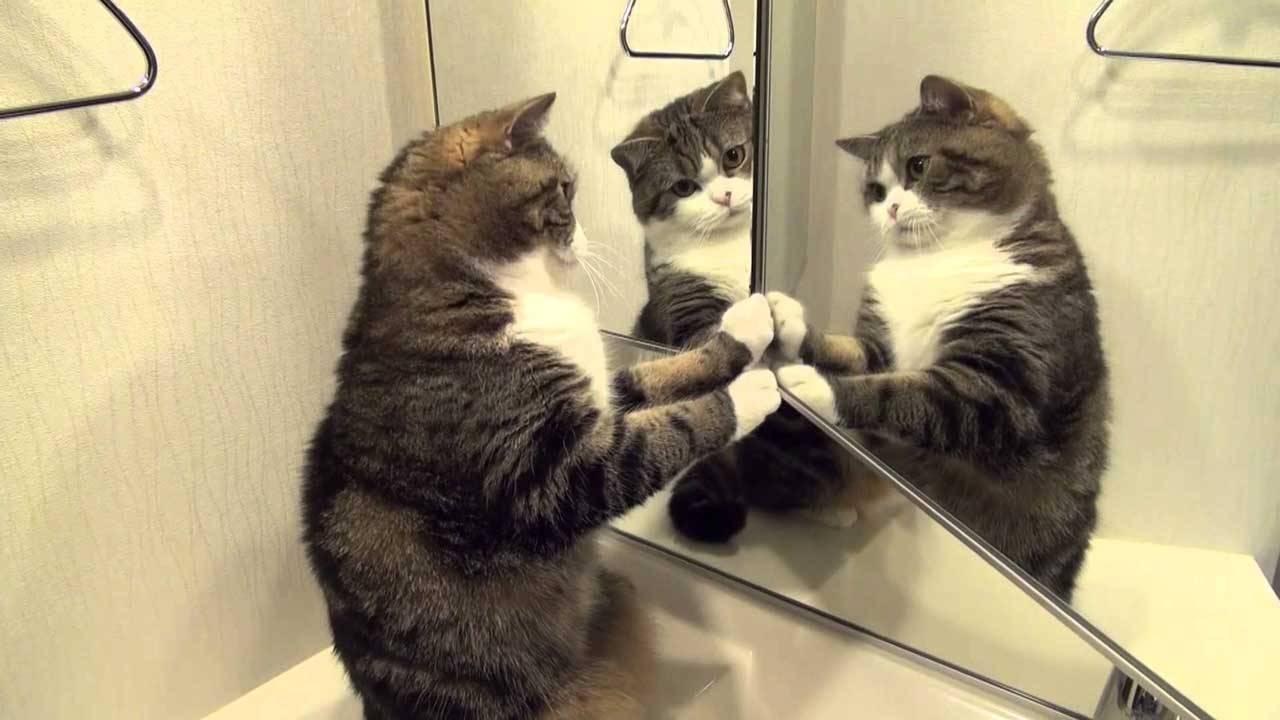 Видят ли кошки себя в зеркале | почему не видят или не смотрят