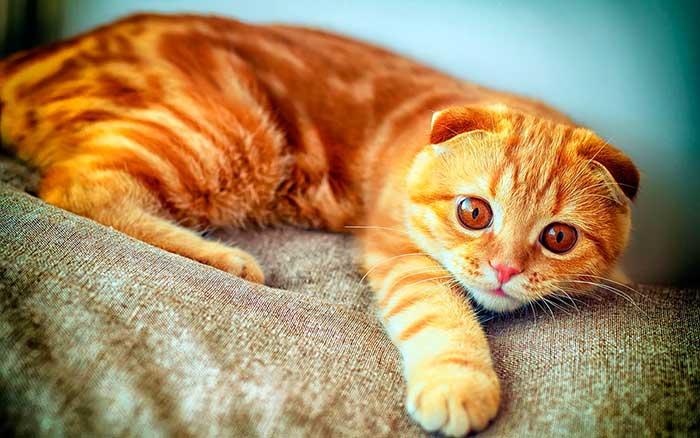 Как правильно выбрать котенка шотландской вислоухой кошки