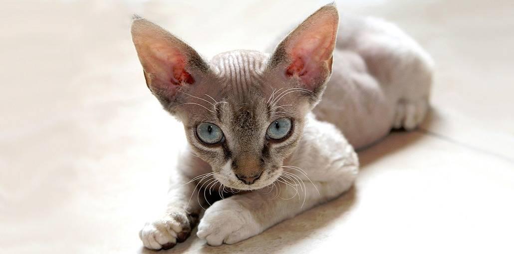 Кошки породы девон рекс: описание, характер, советы по содержанию и уходу, фото, отзывы