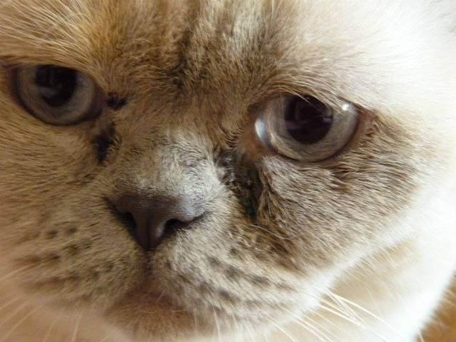 У британской кошки слезится один глаз. почему у британца постоянно текут слезы